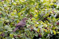 Amsel (Turdus merula)