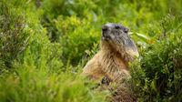 Attentive alpine marmot observing in bush in mountains