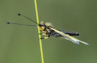 Schmetterlingshaft (Libelloides coccajus)