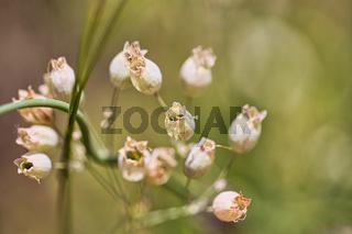 Diese schönen Blütenkelche wachsen im Frühling