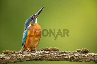 Common kingfisher looking upwards and sitting on a mossy twig in springtime