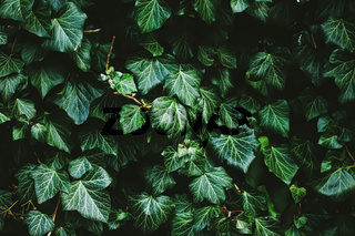 Green shrub wall as plant texture, nature background and botanical design