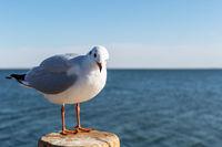 black headed gull, chroicocephalus ridibundus