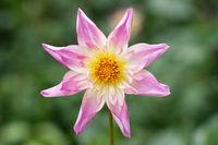 Aufsicht auf rosa-weisse Dahlia