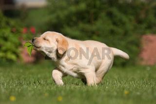 lustige Szene mit Labrador-Welpe