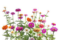 Colorful zinnia elegans flowers in the garden on white
