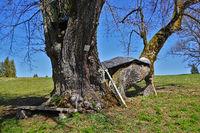 Sommerlinde, Tilila platyphyllos, Naturdenkmal Allenspacher Hoflinde auf der Schwäbischen Alb,