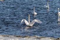 Whooper swans, Cygnus cygnus, In the Hananger water at Lista, Norway
