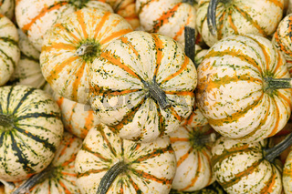 Many Carnival squashes with yellow and green stripes on pumpkin pile