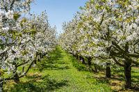 Blühende Apfelbäume, Obstplantage bei Kressbronn am Bodensee, Baden-Württemberg, Deutschland