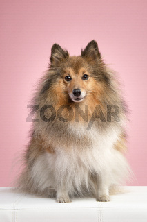 Pretty shetland sheepdog looking at the camera sitting on a pink background in a vertical image