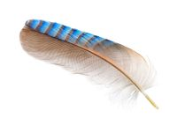 Feather of a Eurasian jay on white