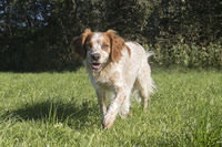 Epagneul Breton beim Laufen