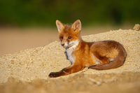 Baby red fox lying on sand in summer evening sun.