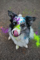 Border collie with bright colors on the face