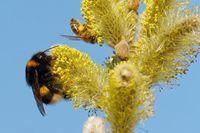 Dunkle Erdhummel und Biene an einer Weide