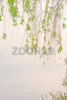 green willow and lake