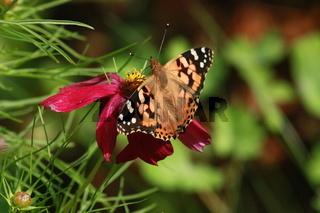 Schmetterling, Diestelfalter