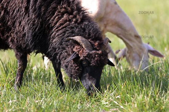 schwarzes und weißes Schaf