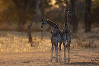 Zwei sehr junge Thorneycroft-Giraffen, Sambia
