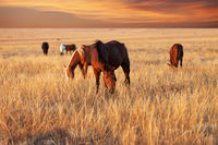 Herd of horses grazing in sunny evening pasture at beautiful sunset