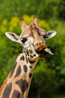 Uganda-Giraffe oder Rothschild-Giraffe