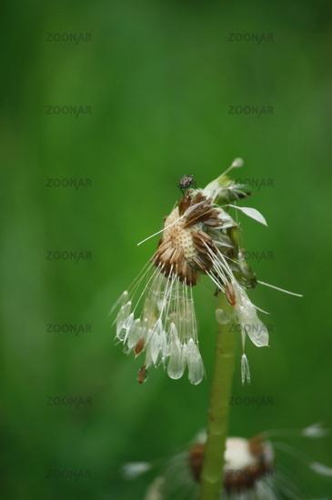 Regen, Blume mit Regenwasser