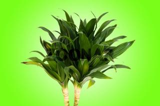 Dracaena plant against gradient background