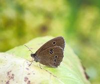 Macro of a ringlet butterfly