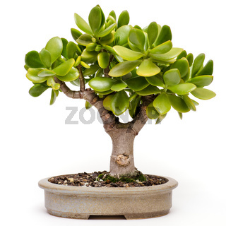 Crassula ovata als Bonsai-Baum