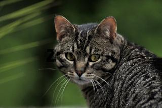 Tomcat / Kater