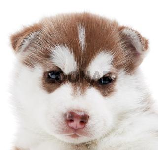 one Siberian husky puppy isolated