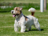 Jack Russell Terrier Close Up.