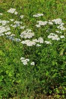 210723-22 Gemeine Schafgarbe, Common Yarrow, Achillea millefolium.jpg