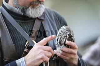 Brasilianischer Sperlingkauz.Ferruginous pygmy owl