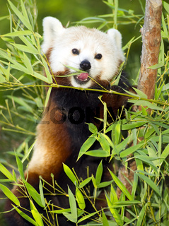 Red Panda Eats Regular Diet of Bamboo Shoots and Tree Branches