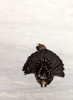 Winter display on snow male Capercaillie - Tetrao urogallus - tail seen from behind