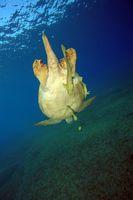 Grüne Meeresschildkröte, Green sea turtle, Chelonia mydas