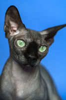 Close-up portrait of Canadian Sphynx. Hairless cat on blue background