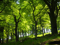 forest of large beech trees with leaves illuminated by bright morning sunshine