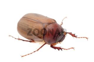 brown June beetle