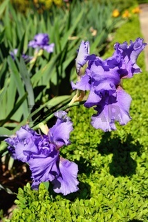 Beautiful violet irises in the garden,