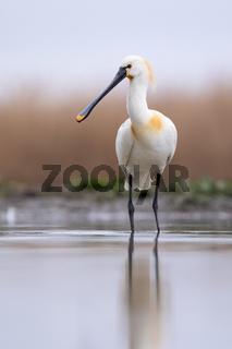 Eurasian spoonbill standing in wetland in vertical shot