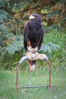 A Harris's Hawk sitting on a perch