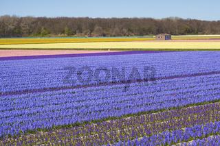 Hyacinths fields, Netherlands