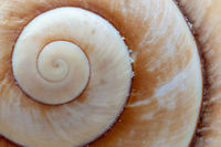 Close-up of the spiral construction of a Giant Brown Snail shell