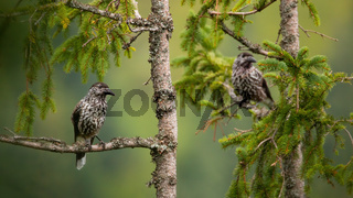 Two spotted nutcrackers sitting on treetop in summer