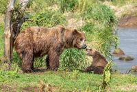 Female brown bear and her cub