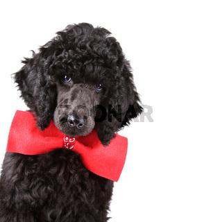 Portrait of black poodle puppy