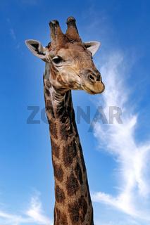 Sehr dunkle Giraffe, Etosha-Nationalpark, Namibia | very dark giraffe, Etosha National Park, Namibia